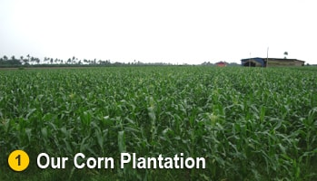 Sweet Corn Plantation