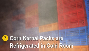 Sweet Corn Kernel Packs Refrigerated in Coldroom