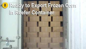 Frozen Sweet Corn Readied to export